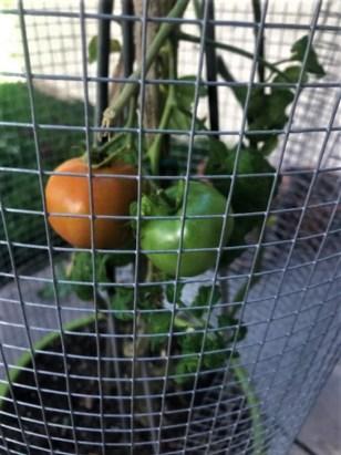 tomatored