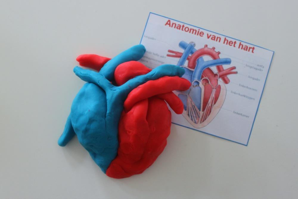 Anatomisch hart van klei