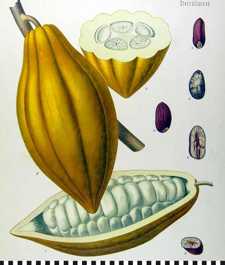 cafe-konditorei-heinemann-kakaopflanze-wiki