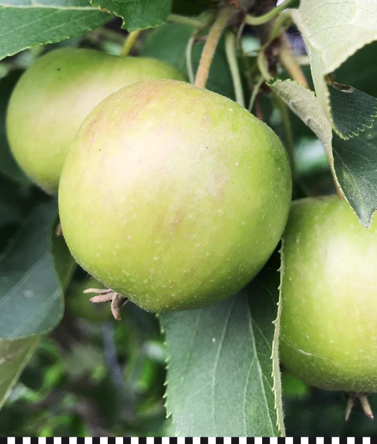 kleineslaster-aepfel