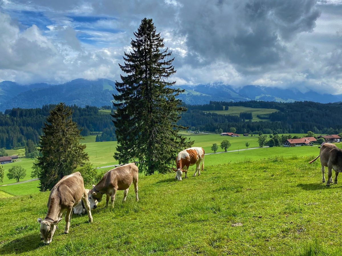 Weide Kühe Diepolz
