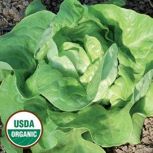 mantilia lettuce