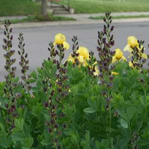 Baptisia Twilite Prairieblues™ False Indigo