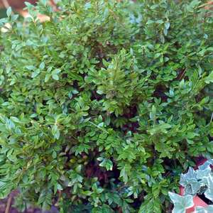 Buxus Chicagoland Green Boxwood