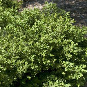 Buxus Green Velvet Boxwood
