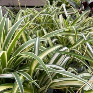Varigated Spider Plant 4 inch pot