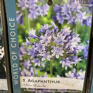Agapanthus Blue Danube