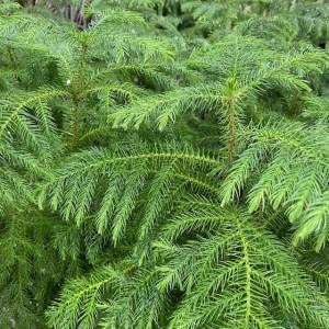 Araucaria, Norfolk Island Pine