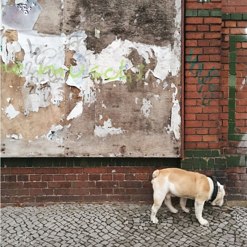 Walking the dog - english bulldog RIP by kleinstyle.com