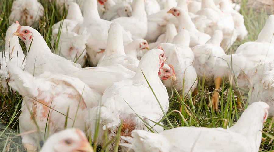 temukan harga ayam broiler hari ini untuk daerah kamu