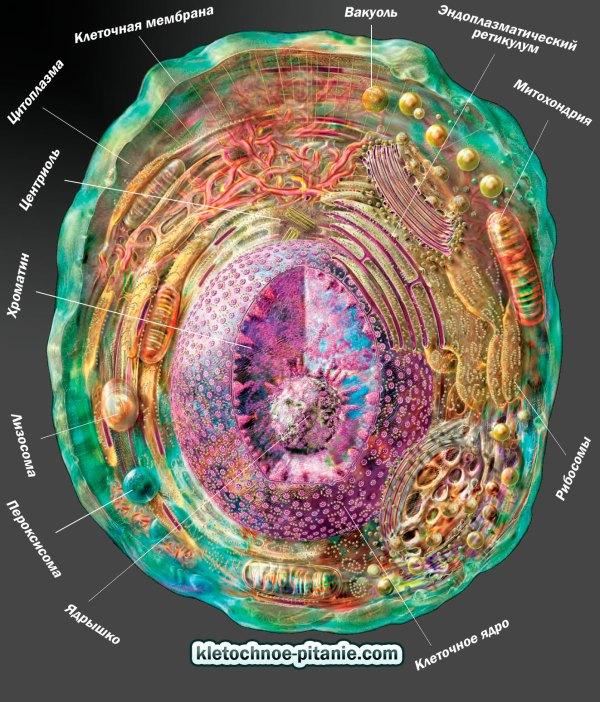 Клетка человека строение типы питание фото
