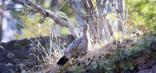 Охота на птицу начнется раньше обычного