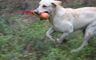 Paket: Avancerade onlinekurser för den apporterande fågelhunden – med återkoppling