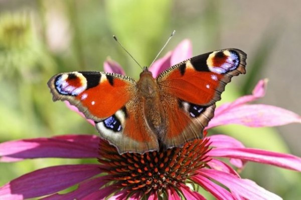 Бабочки - красивые картинки (50 фото)