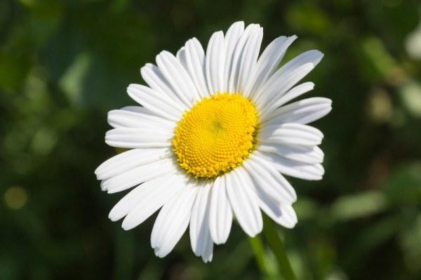 Ромашки - красивые картинки (40 фото) • Прикольные ...