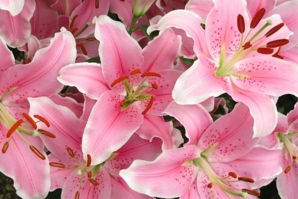Лилии - красивые картинки (40 фото) • Прикольные картинки ...