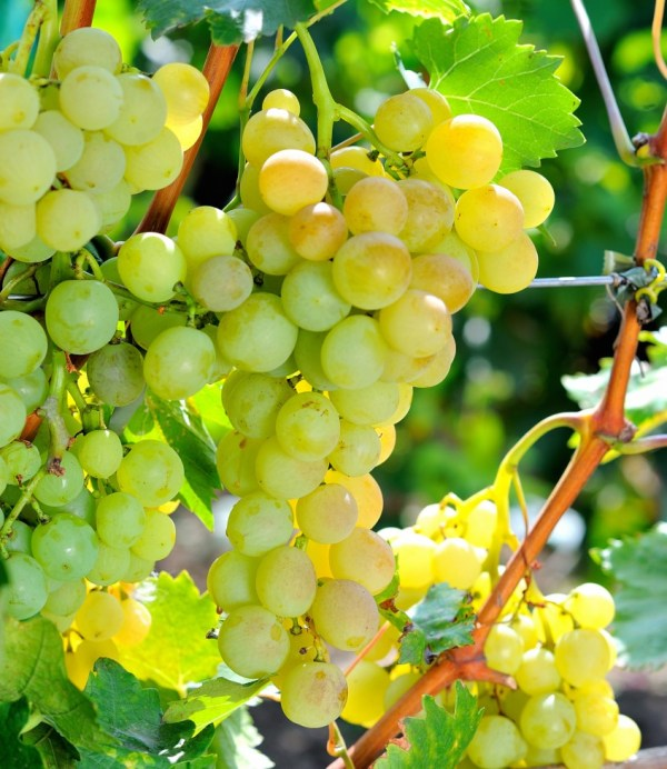 Виноград - красивые картинки (40 фото) • Прикольные ...