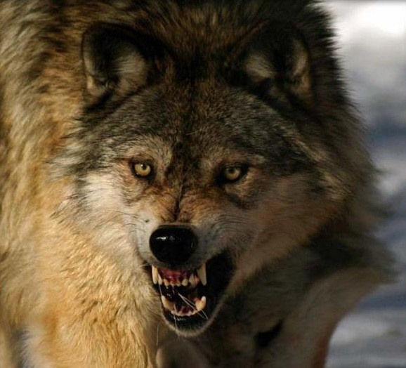 Картинки злых волков (31 фото) • Прикольные картинки и позитив
