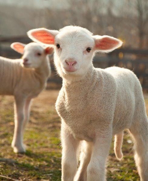 Картинки овечки (25 фото) • Прикольные картинки и позитив