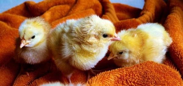 Цыплята - красивые картинки (40 фото) • Прикольные ...