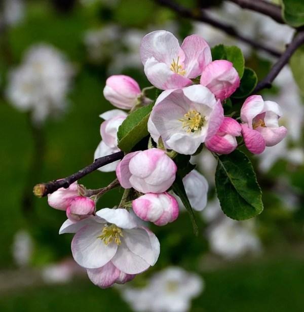 Картинки яблоневый цвет (40 фото) • Прикольные картинки и ...