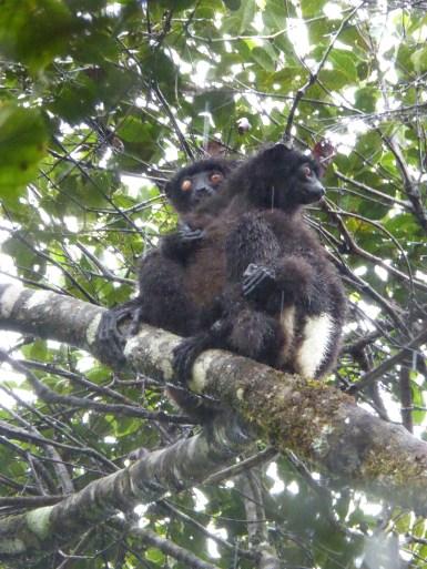 Zwei Lemuren putzen sich hoch oben in den Baumwipfeln.