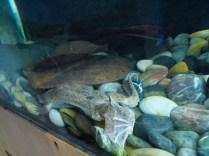 Suriname Toad