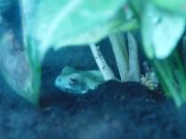 Female White`s Treefrog