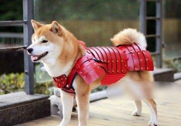 Neviete, do čoho obliecť svojho domáceho miláčika? Japonská spoločnosť predstavuje samurajské obleky pre psy a mačky