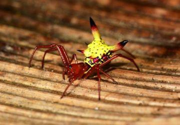 Tento pavúk vyzerá ako Pikachu z tvojej nočnej mory. Dotknúť by si sa ho však nechcel