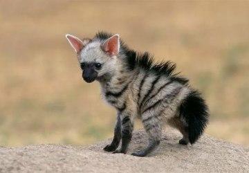 Máš zlý deň? Pozri sa na zviera menom Hyenka cibetkovitá, ktorá je asi najzlatšie zvieratko, aké si kedy videl, no nikdy o ňom nepočul
