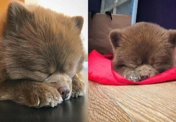 Medvedík alebo psík? Toto roztomilé chlpaté klbko je na internete hitom