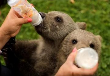 VIDEO: Pozrite si nádherné zábery medvedích mláďat, ktoré 19 týždňov žili s ľuďmi