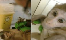 Hrozivé VIDEO z testovacieho laboratória! Opice tam nadrogujú, tetujú a zabíjajú