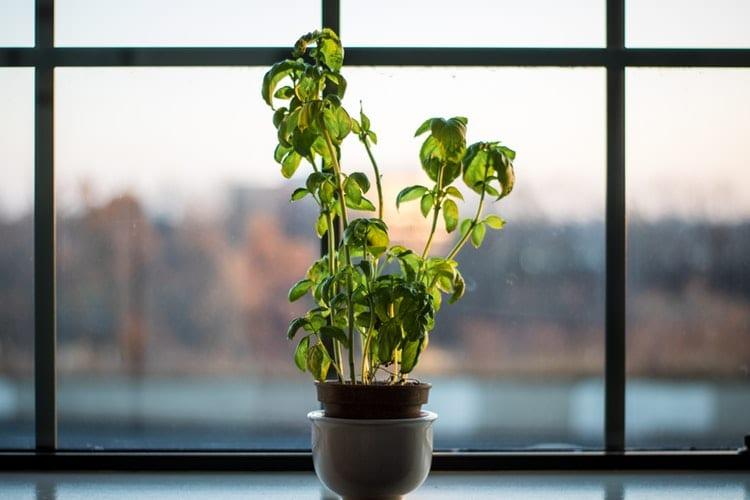 pestovanie byliniek v byte