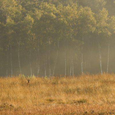 Een ree in het veld op de Veluwe
