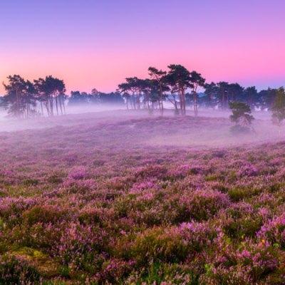 Panorama bloeiende heide met mist