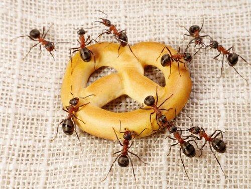 Что едят муравьи в природе и в квартире