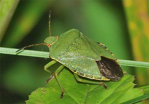Клоп зеленый (древесный) и особенности его жизни