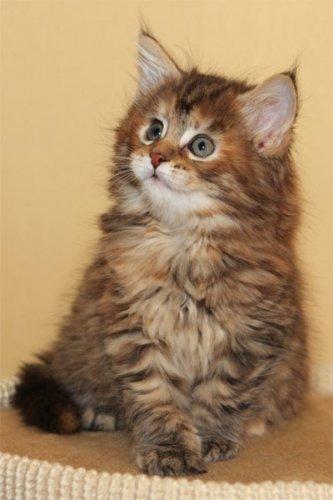 Top Der Größten Katzen Der Welt Maine Coon Die Klügste