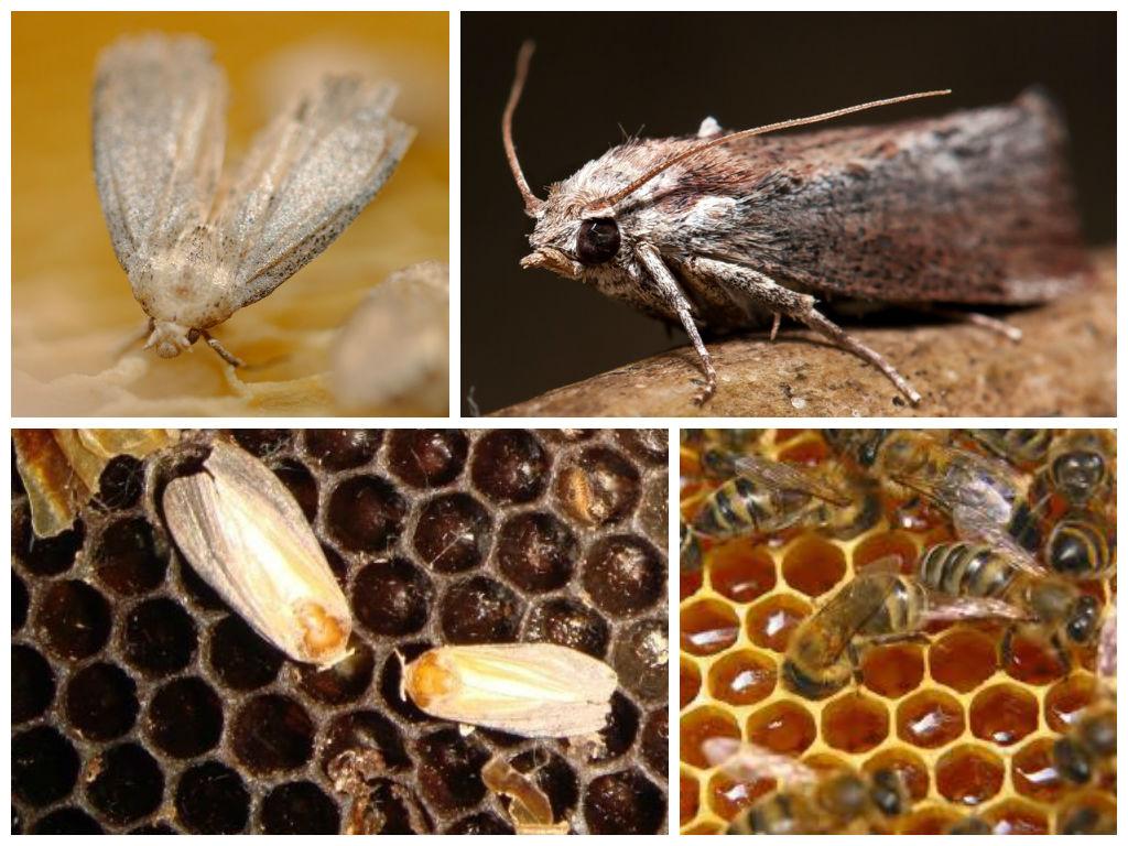 A méhek kezelése a prosztatitisből