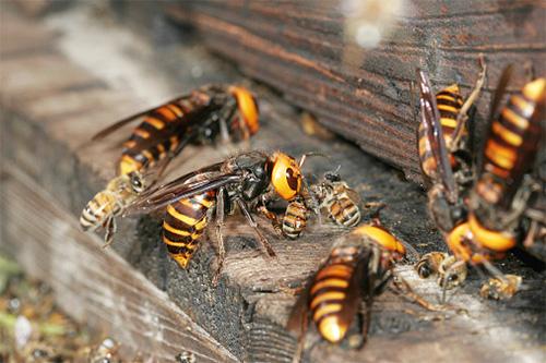Шершни. Идеальные хищники мира насекомых. | Пикабу | 333x500