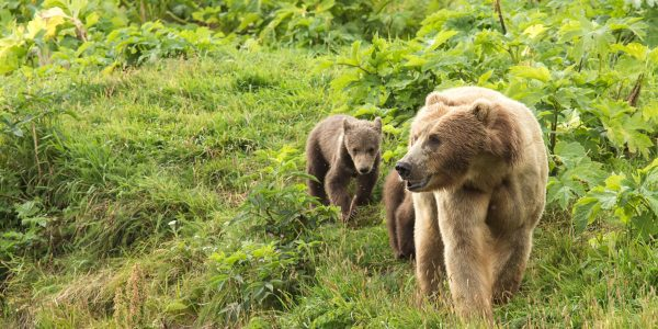 wild brown bear sow cub nature