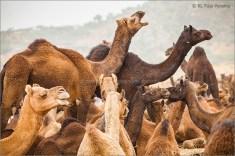 camels 01