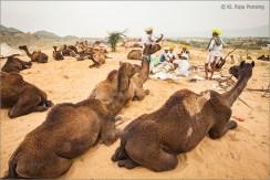 Camels 03