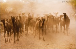 camels dust
