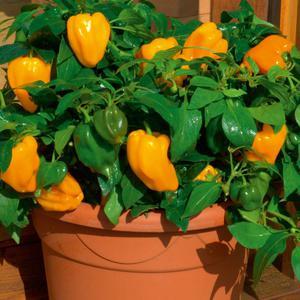 Сладкий перец Винни-Пух: сорта, способы выращивания и ...