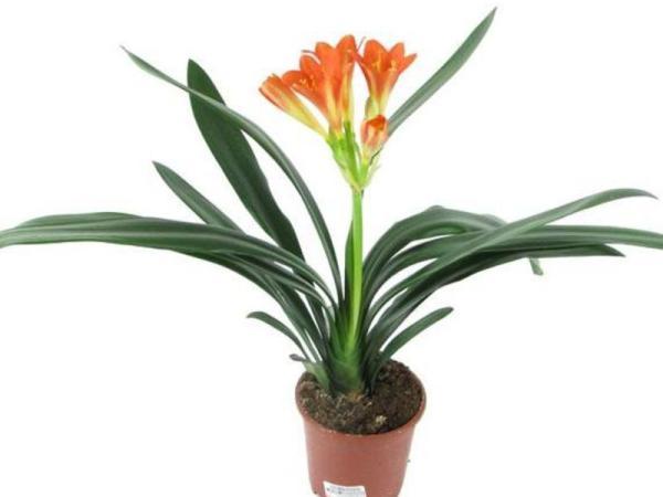 Выращивание кливии в домашних условиях: виды, посадка и ...