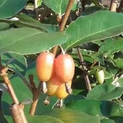 Лох серебристый плоды. Лох — лечебные свойства, применение и рецепты. Состав и лечебные свойства лоха