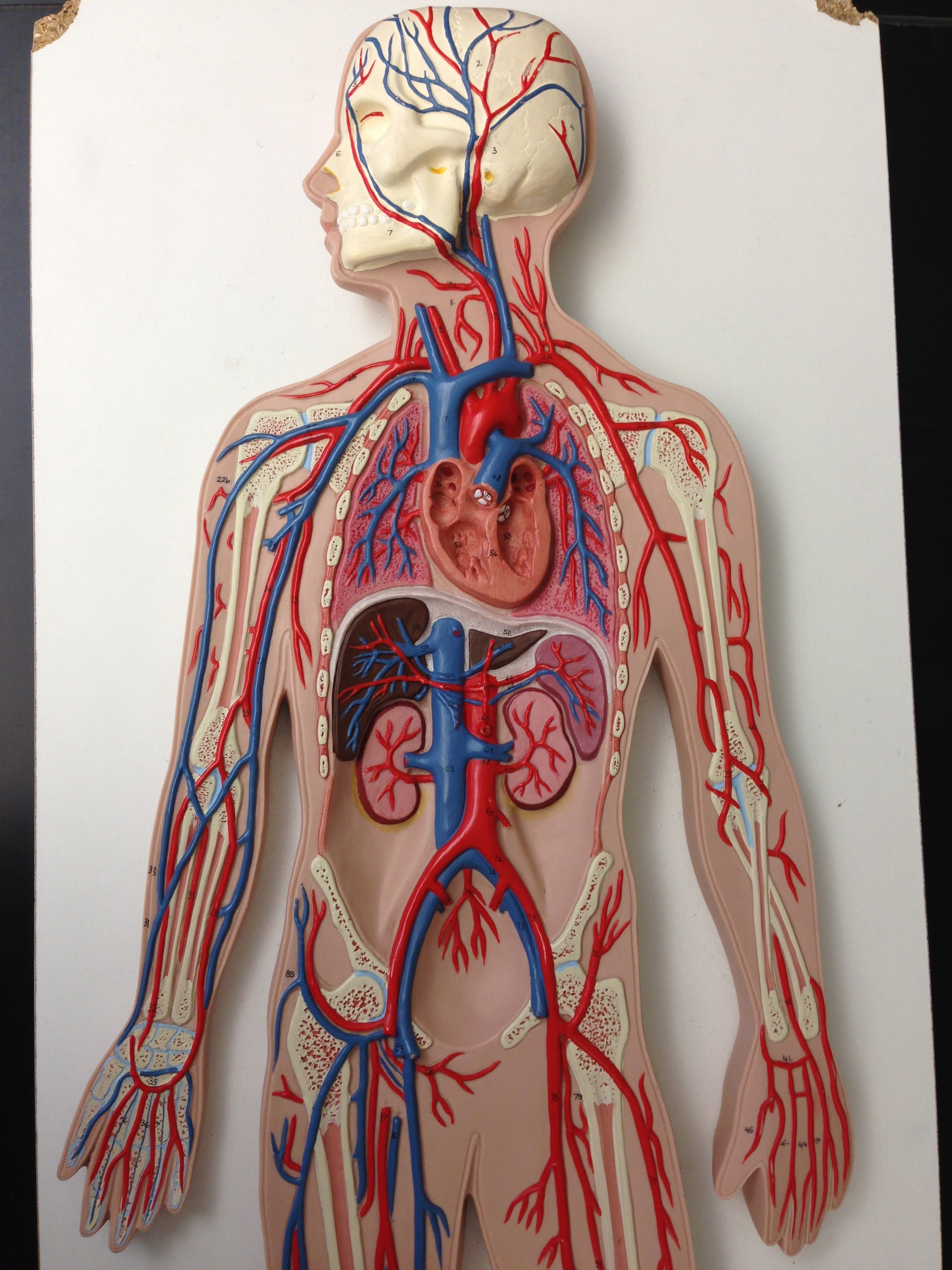 Blood Pressure Arteries Amp Veins Kluthe Biology